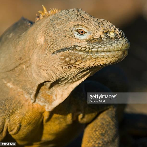 wildlife - land iguana stock photos and pictures