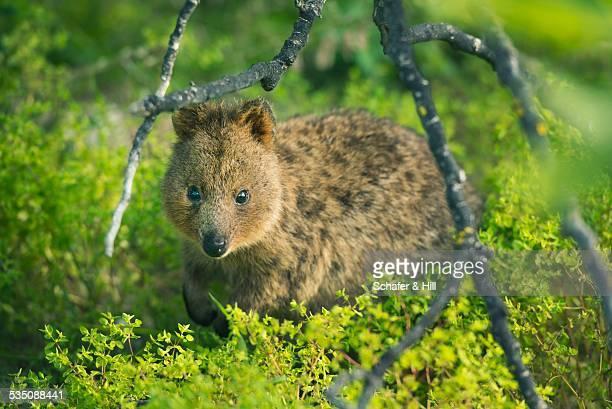 wildlife - quokka photos et images de collection