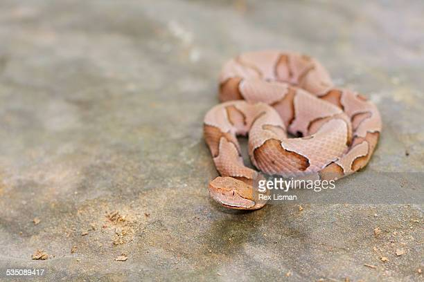 wildlife - copperhead snake stock pictures, royalty-free photos & images