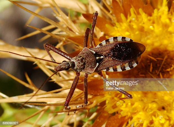 wildlife - kissing bug stock photos and pictures