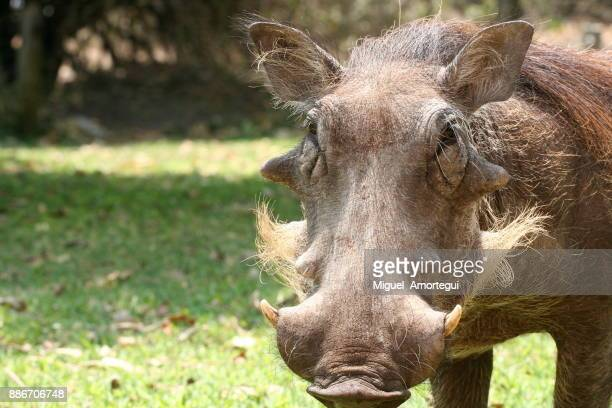 wildlife - wild boar stock pictures, royalty-free photos & images