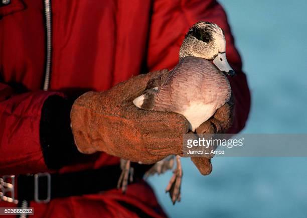 wildlife refuge worker releasing widgeon - laisser partir photos et images de collection
