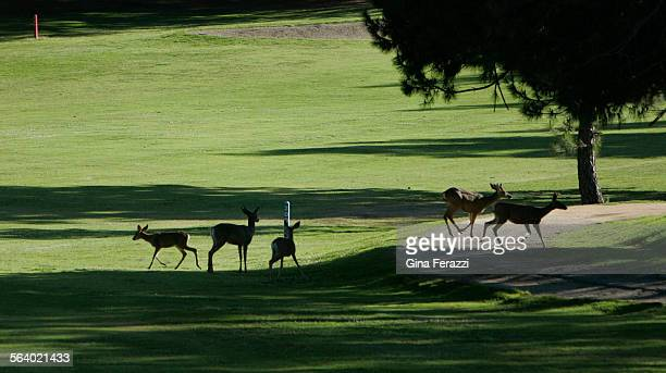 Wildlife returns to Griffith Park as deer frolick on the fairway of the fourth hole at Roosevelt Golf Course Thursday May 10 2007