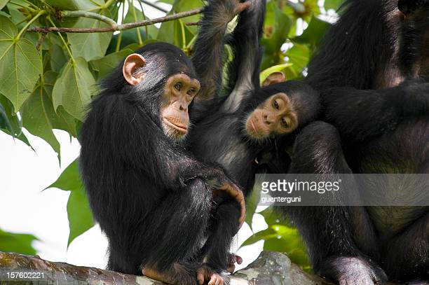Wildlife shot - chimpanzee family on a tree, Gombe/Tanzania