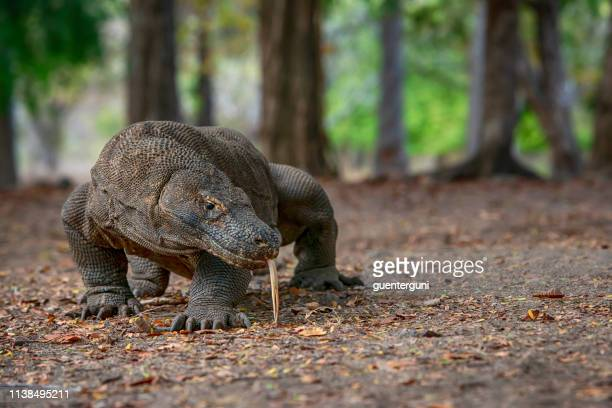 toma de vida silvestre de un dragón de komodo (varanus komodoensis) - flores indonesia fotografías e imágenes de stock