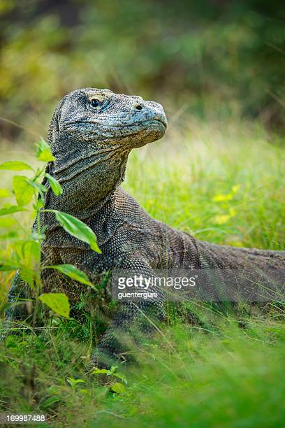 vida silvestre toma de un dragón de komodo (varanus komodoensis) - flores indonesia fotografías e imágenes de stock
