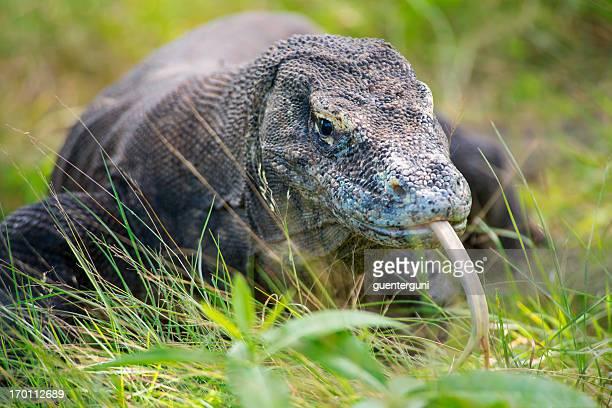 vida silvestre toma de un dragón de komodo (varanus komodoensis) - komodo fotografías e imágenes de stock