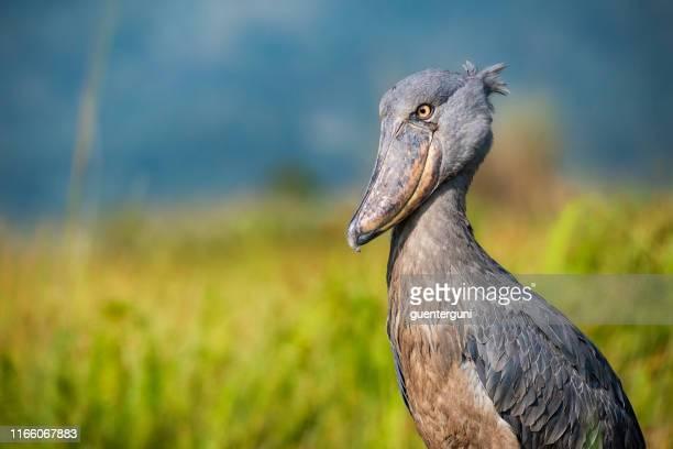 wildlife shot of a rare shoebill (balaeniceps rex) - uganda stock pictures, royalty-free photos & images