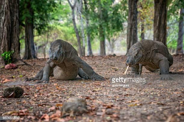 captura de vida silvestre de dos dragones de komodo (komodoensis de varanus) - komodo fotografías e imágenes de stock
