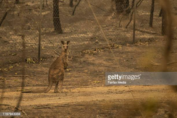 Wildlife struggles to find food water and shelter after a bushfire swept through bonedry bushland in the Kangaroo Valley of NSW January 5 2020