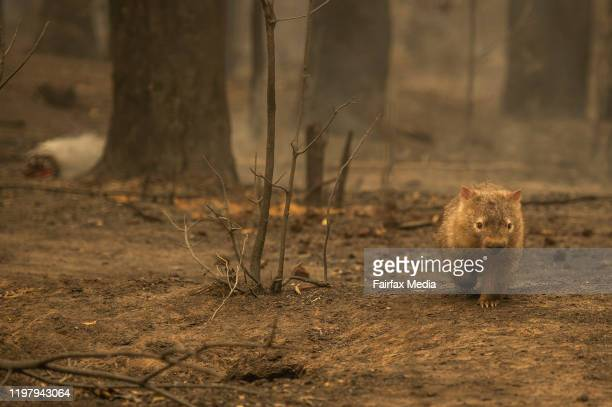 Wildlife struggles to find food, water and shelter after a bushfire swept through bone-dry bushland in the Kangaroo Valley of NSW, January 5, 2020.