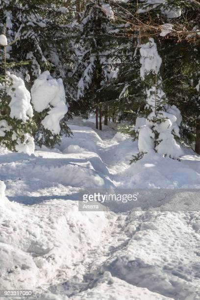 Wildlife track running through the snow in spruce forest in winter
