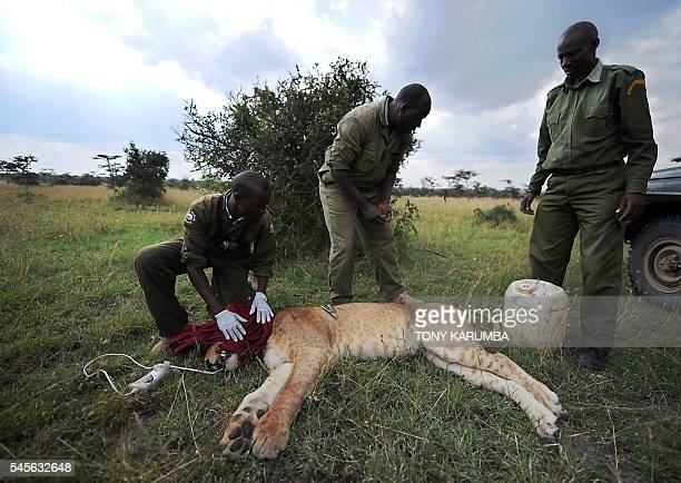 Wildlife veterinarians inspect a tranquilised lioness for injuries and signs of disease as they set up a radio collar at the OlPejeta conservancy in...