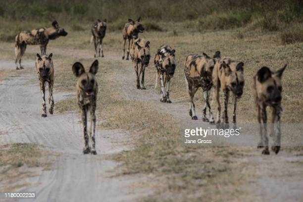 wild/painted dogs - wild dog stock pictures, royalty-free photos & images
