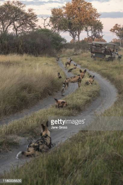 wild/painted dogs - southern africa stock pictures, royalty-free photos & images
