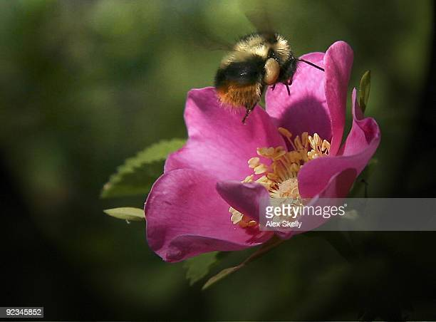 Wildrose bumblebee