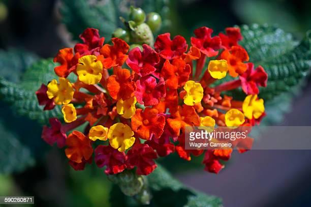 Wild-sage flowers