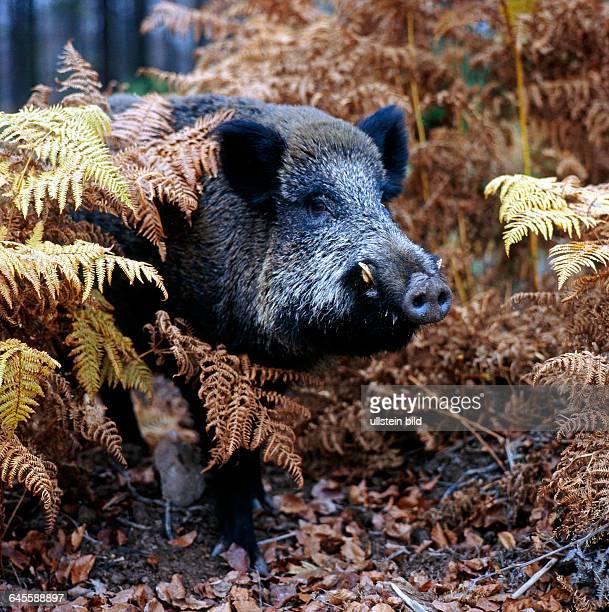 Wildschwein verhofft im Unterholz zwischen Farnwedeln