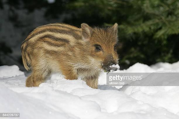 WildschweinFrischling im Schnee Tierkinder Jungtiere