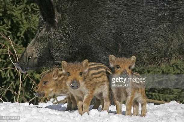 WildschweinFrischlinge und Bache im Schnee Tierkinder Jungtiere