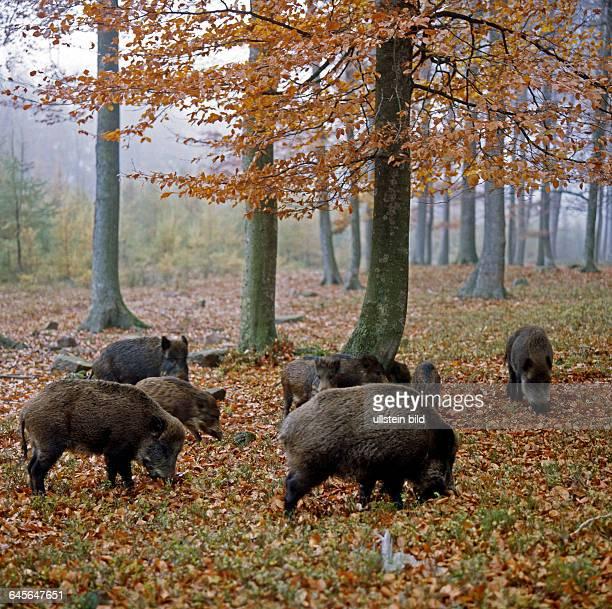 Wildschweinrotte auch Schwarzwildrotte Sus scrofa Bachen mit Frischlingen und Ueberlaeufern auf Nahrungssuche im herbstlichen Buchenwald