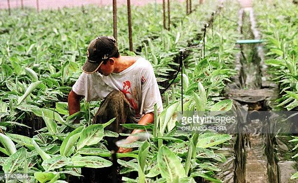 Wilfredo Izaguirre checks on young banana saplings in the nursery of a new banana plantation of Tela Railroad Company Chiquita Brand's Honduran...