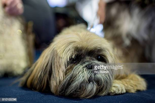 Will the Lhasa Apso attends 7th Annual AKC Meet The Breeds at Pier 92 on February 13 2016 in New York City