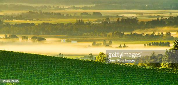 willamette valley - pinot noir grape stock photos and pictures