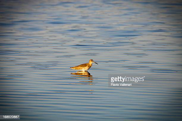 Willet Bird at sunset