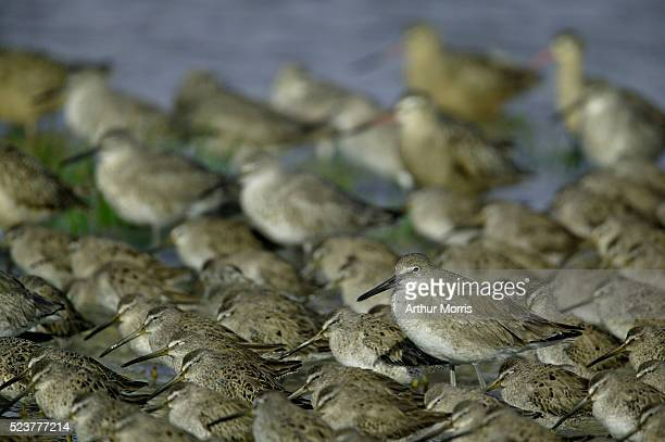 willet in flock of dowitchers - captiva island - fotografias e filmes do acervo