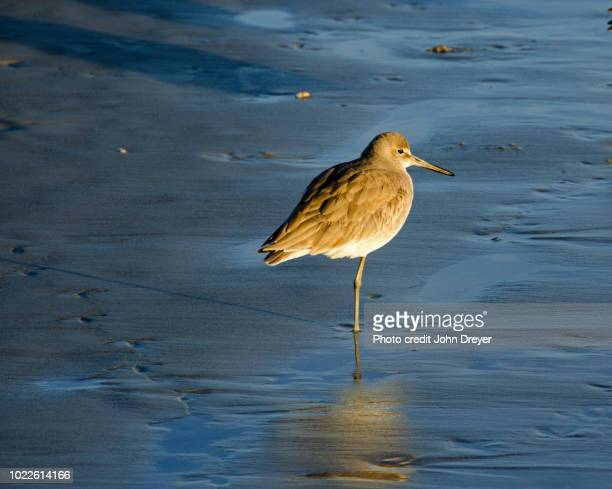 willet on beach at sunset - zeevogel stockfoto's en -beelden