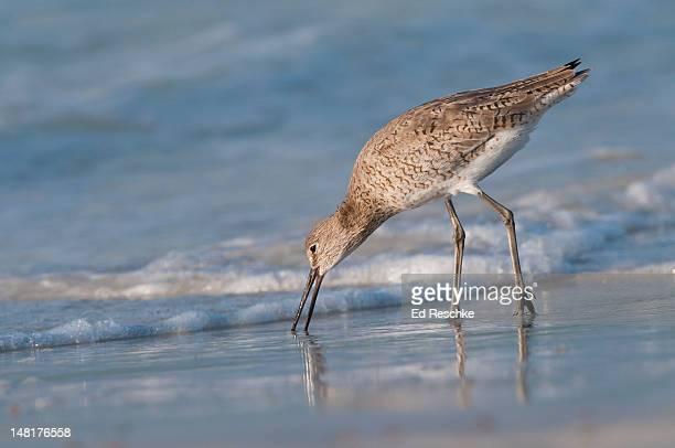 willet probing for prey on siesta key beach - siesta key 個照片及圖片檔