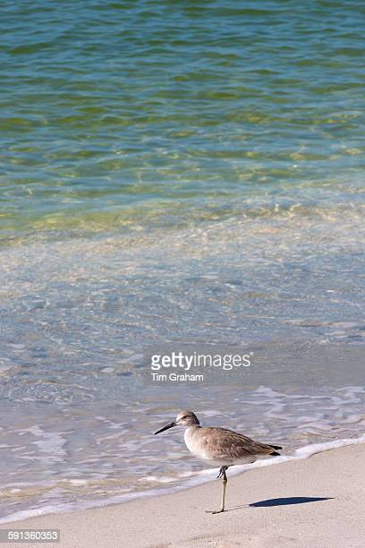 Willet Tringa semipalmata one of the shorebirds standing on one leg on the beach shoreline at Captiva Island Florida USA