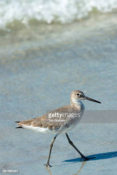 Willet Tringa semipalmata one of the shorebirds striding along the beach shoreline at Captiva Island Florida USA