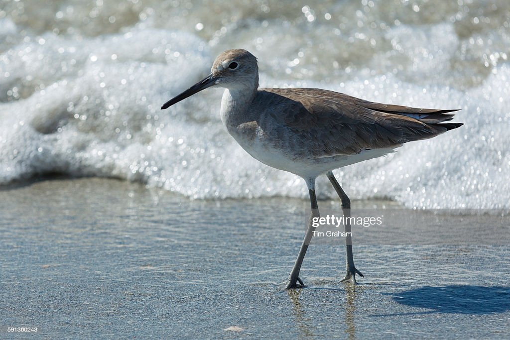 Willet at Captiva Island, Florida, USA : News Photo