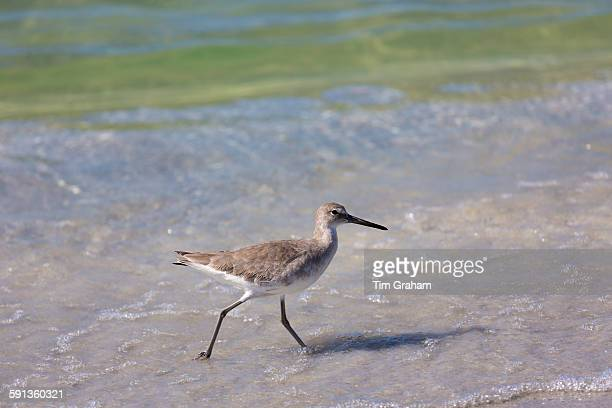 Willet Tringa semipalmata one of the shorebirds wading on the beach shoreline at Captiva Island Florida USA