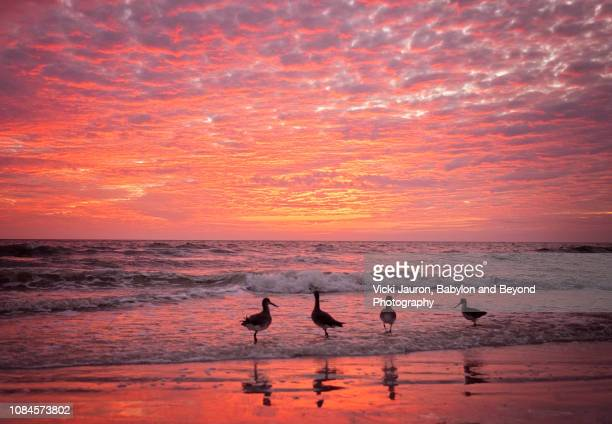 willets wading against deep pink sky and water at fort myers beach, florida - fort myers beach stock pictures, royalty-free photos & images