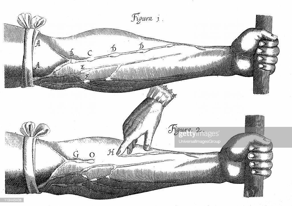 William Harvey English Physician  Diagram From De Motu