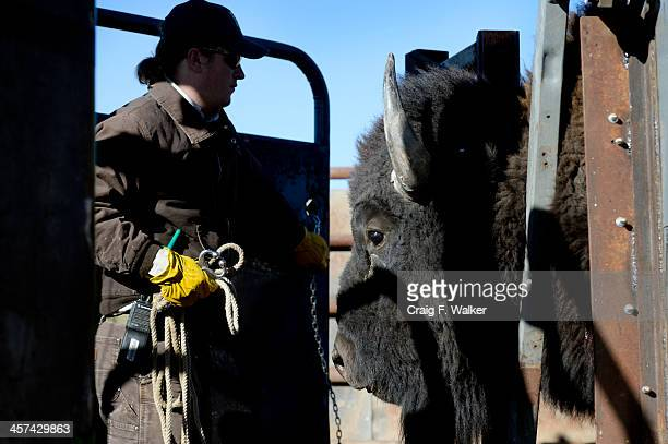 William Kutosky prepares to release a bison after a checkup during the annual bison roundup at the Rocky Mountain Arsenal National Wildlife Refuge in...