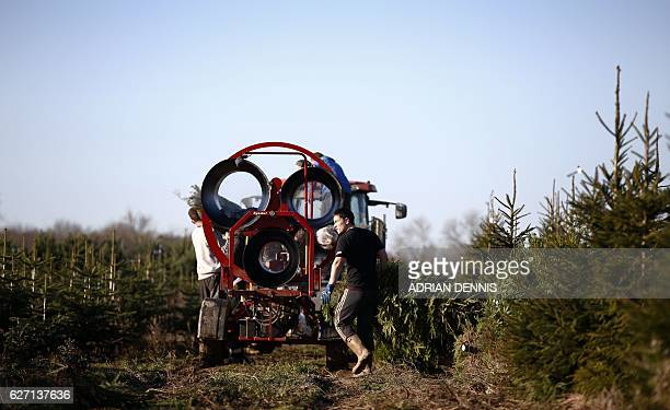 William Rea carries a tree to the netting machine before loading it onto a trailer at Christmas Tree Place in Berkhamsted Buckinghamshire on December...
