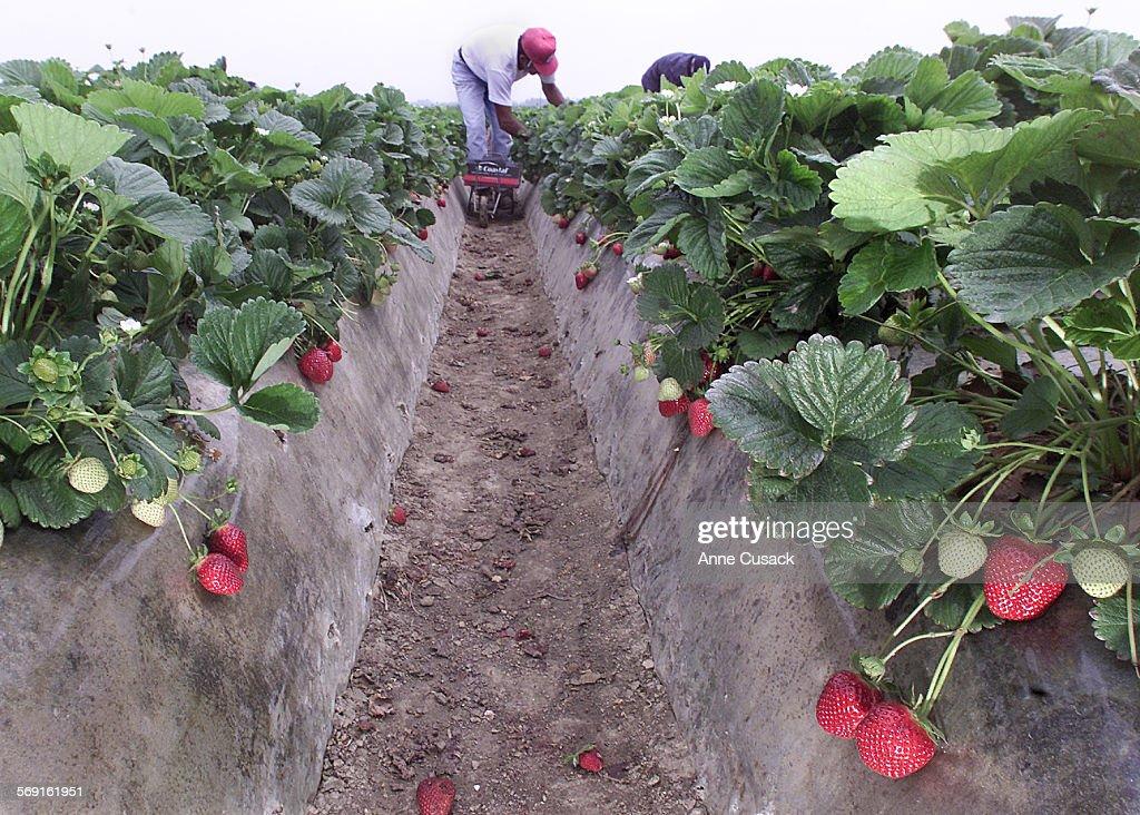 Strawberry Festival 2020 Oxnard.William Romero Picks Strawberries Near Oxnard The