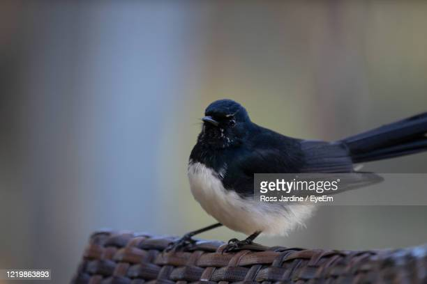 willie wagtail bird perch on the back of a chair. australia. - batemans bay stock pictures, royalty-free photos & images