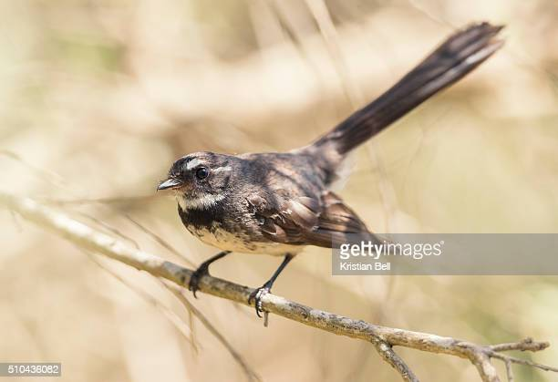 willie wagtail (rhipidura leucophrys) perched on a branch - セキレイ ストックフォトと画像