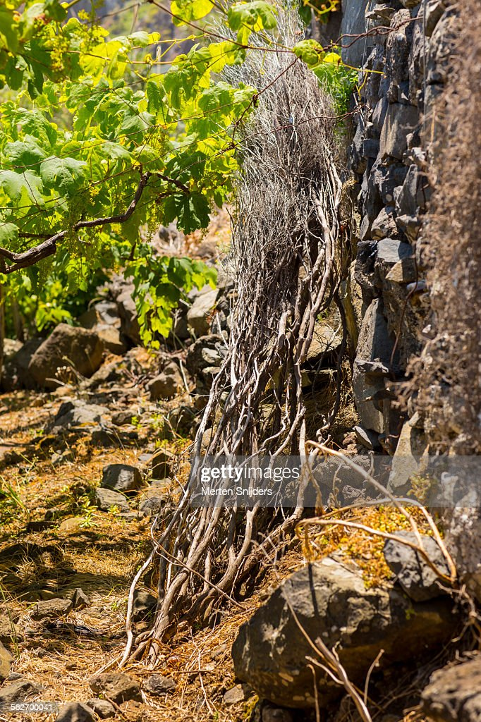 Willow Branches At Vinyard For Basket Weaving High Res Stock Photo Getty Images