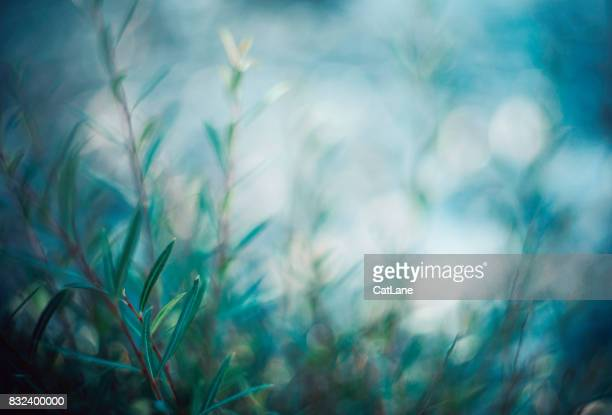 willow branches in soft evening light - soft focus stock pictures, royalty-free photos & images