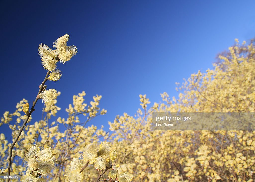 Willow in bloom : Stock Photo