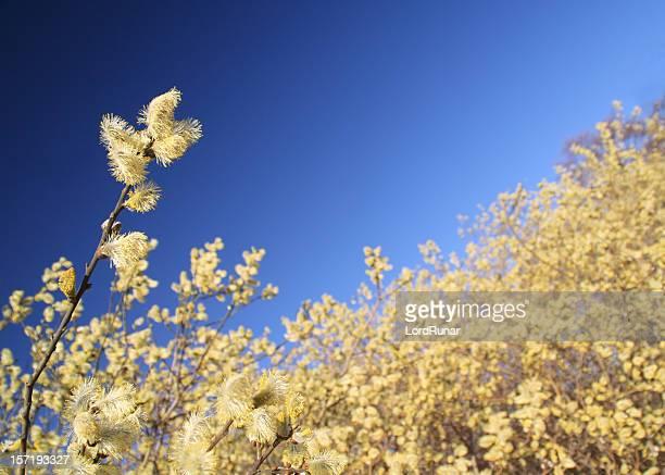 willow en fleur - pollinisation photos et images de collection