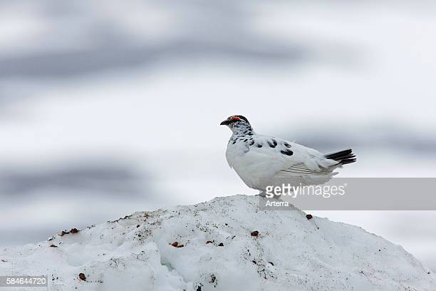 Willow ptarmigan / Willow grouse male in spring plumage in the snow Sweden