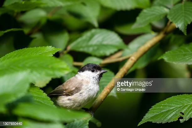 willow tit (poecile montanus) hiding on a tree - hiding stock pictures, royalty-free photos & images