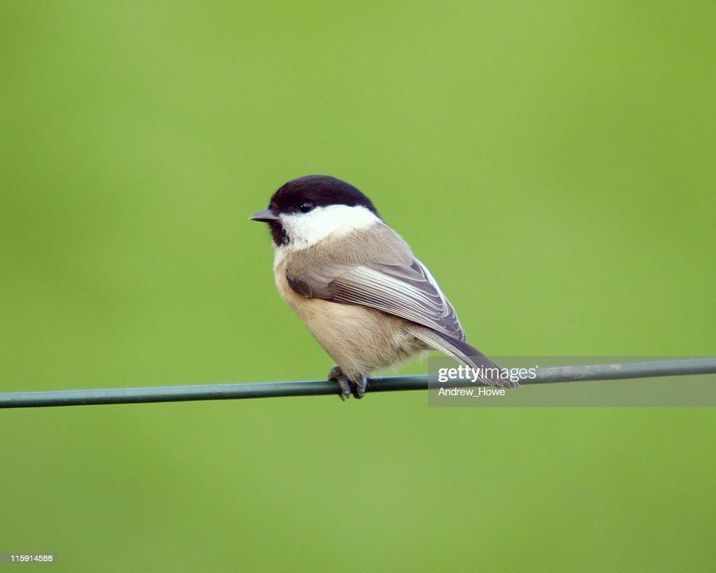 Willow Tit (Poecile montanus) : Stock Photo